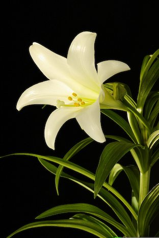 Bring an Easter Lily on Easter Sunday
